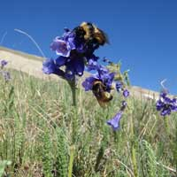 Webster University Professor Uses Microphones, iPads to Track Pollinating Bees in New Study